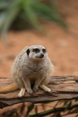 A meerkat keeping a watchful eye.