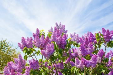 Lilac bush on a background of blue sky