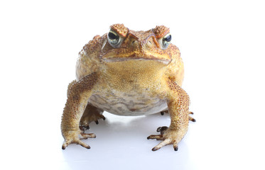 Toxic cane toad
