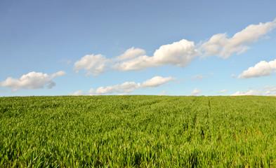 Wheatgrass Field in Serbia