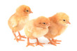 Chickens on a white background