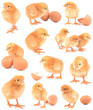collection chickens