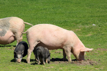 Pig with piglets grazing in the meadow