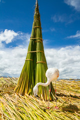 White Flamingo on the islands of Uros Peru