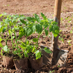 Tomato seedlings with spade