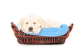 Cute labrador puppy dog sleeping in a basket
