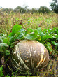 ripe grey pumpkin in kithen garden