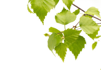 Birch leaves of the tree.