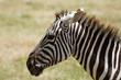 Head of Zebra