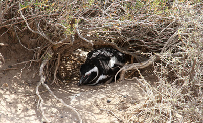Magellanic penguin has a rest in a nest. Steppes of Patagonia.
