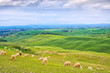 Sheeps grazing in green fields in Orcia Valley, Tuscany, Italy