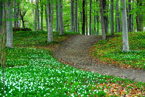 Park with wood anemone flowers