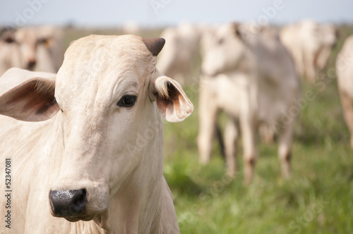 Cows and bulls on a farm in Mato Grosso