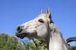 portrait - aufgeregtes pferd