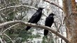 Couple of North American Black Ravens