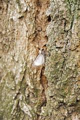 papillon de nuit sur un tronc d'acacia