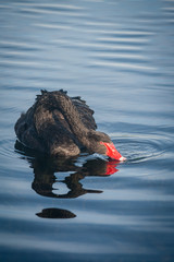 black swan filtering surface water