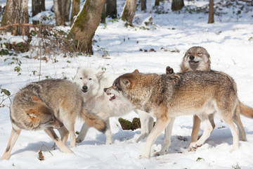 fighting timber wolves in winter forest
