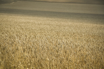 golden wheat field hertfordshire uk
