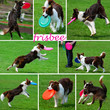 collage with dogs playing with frisbee