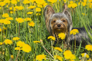Yorkshire terrier in the dandelion meadow