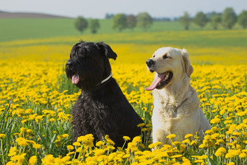 Golden Retriever and Big Black Schnauzer in dandelions meadow
