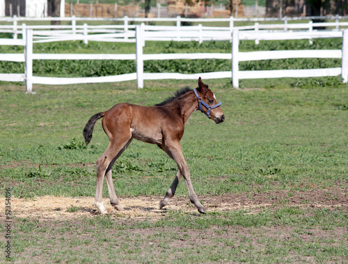 cute foal running farm scene