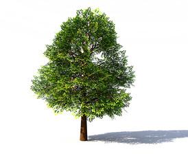 Deciduous tree rendered