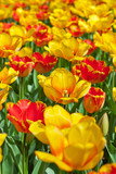 Field of yellow and red tulips in spring.