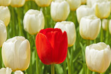 White tulips with one red standing out.