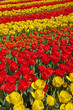 Red and yellow tulips in spring garden. Keukenhof. Lisse.