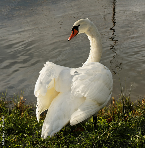 Swan at the water.