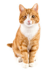 red cat, sitting towards camera, isolated in white