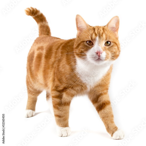 red cat, walking towards camera, isolated in white