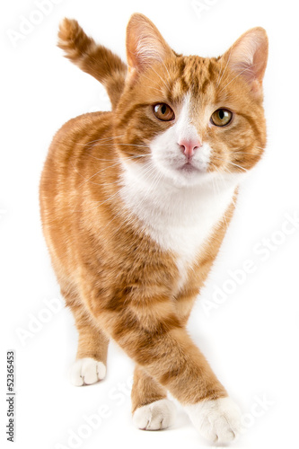 Foto op Plexiglas Kat red cat, walking towards camera, isolated in white