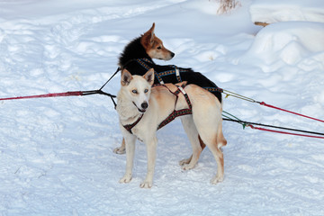 Harnessed in a cart sled dogs. Siberian Laika