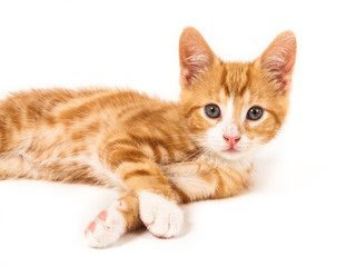 Little red kitten, looking curious into camera