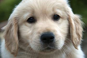 Cucciolo di Golden
