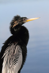 Anhinga On A Perch