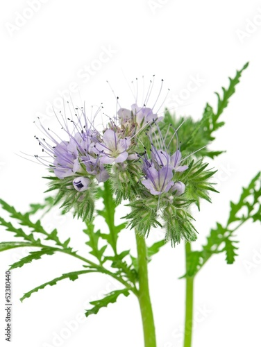 Blooming phacelia