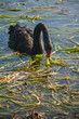 black swan feeding on aquatic plants