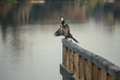 pied cormorant sitting on wooden railing