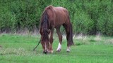 horse grazes in a meadow