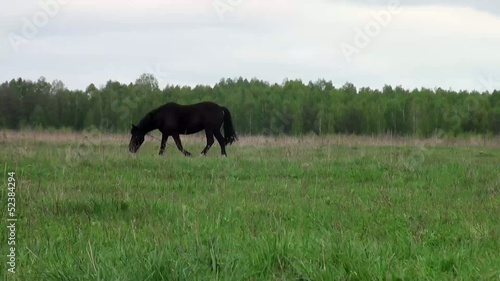 horse grazes in meadow