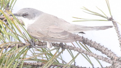 Eurasian whitethroat on a branch close up