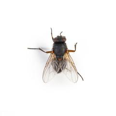 Fliege schmeißfliege schwarzfliege auf weißem hintergrund