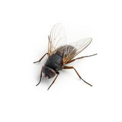hausfliege schmeißfliege insekt auf weiß