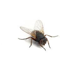 schmeißfliege insekt freisteller auf weiß
