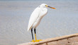 Little egret (egretta garzetta) at wild life