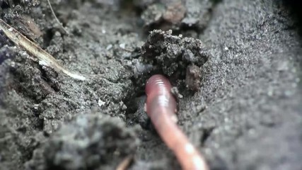 Earth worm is hiding in the ground